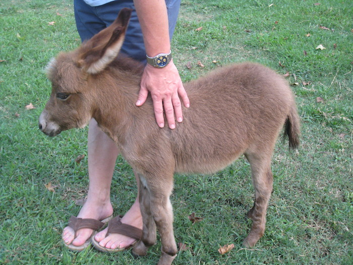 Baby miniature donkeys are the size of small dogs. They're precious!