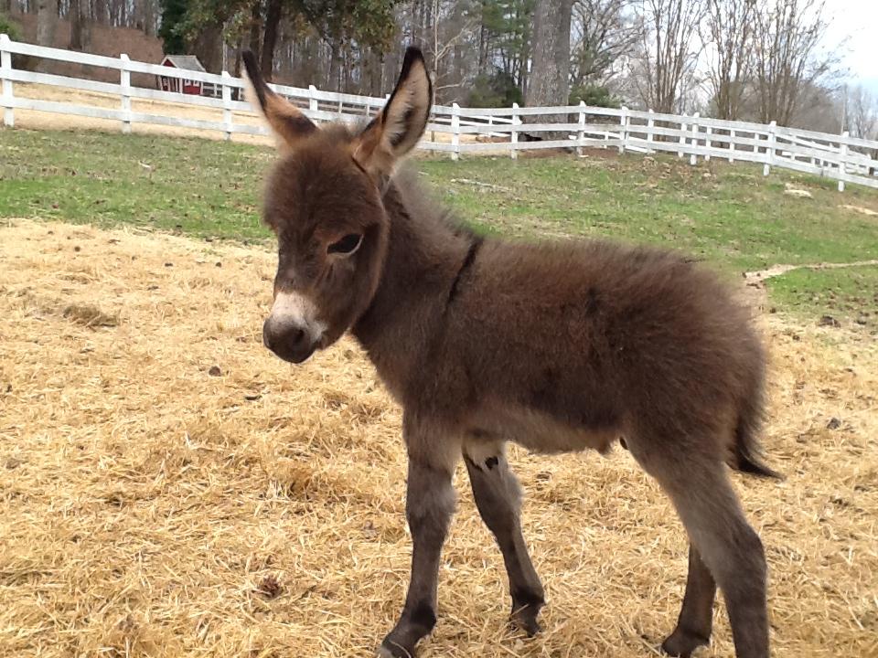 Miniature Donkeys Provide Big Joy for Oxford Family - HottyToddy com