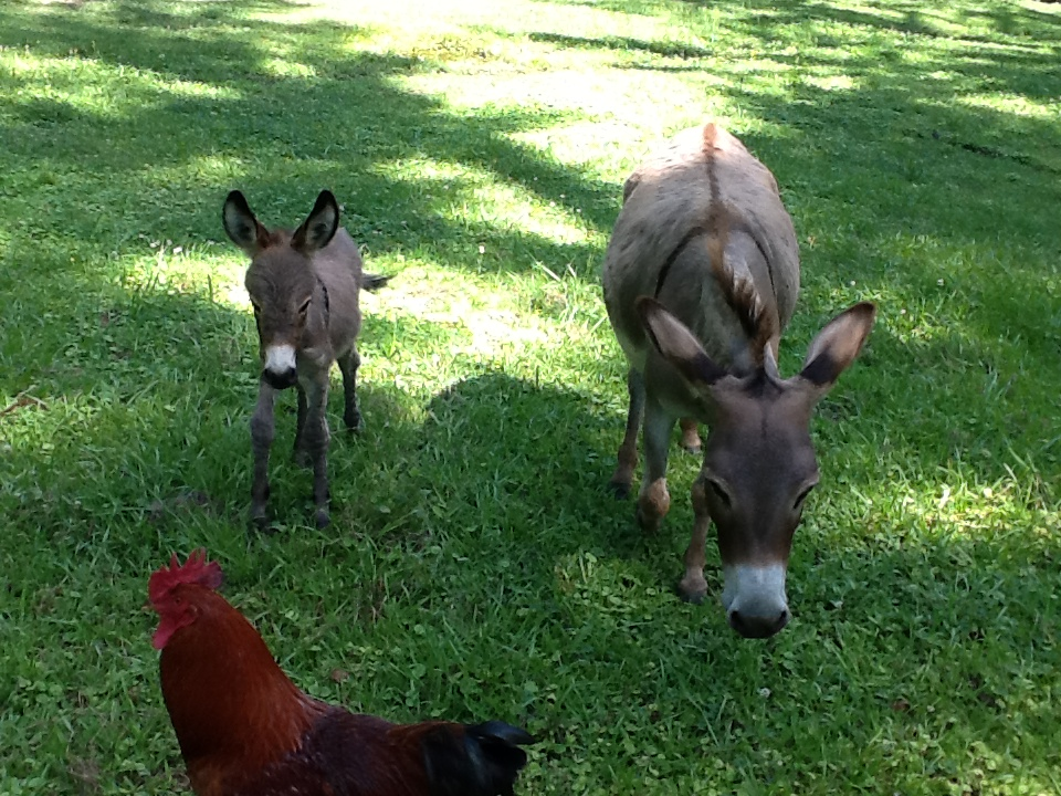 donkeys and roosters