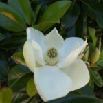 magnolia-951998_1280.jpg
