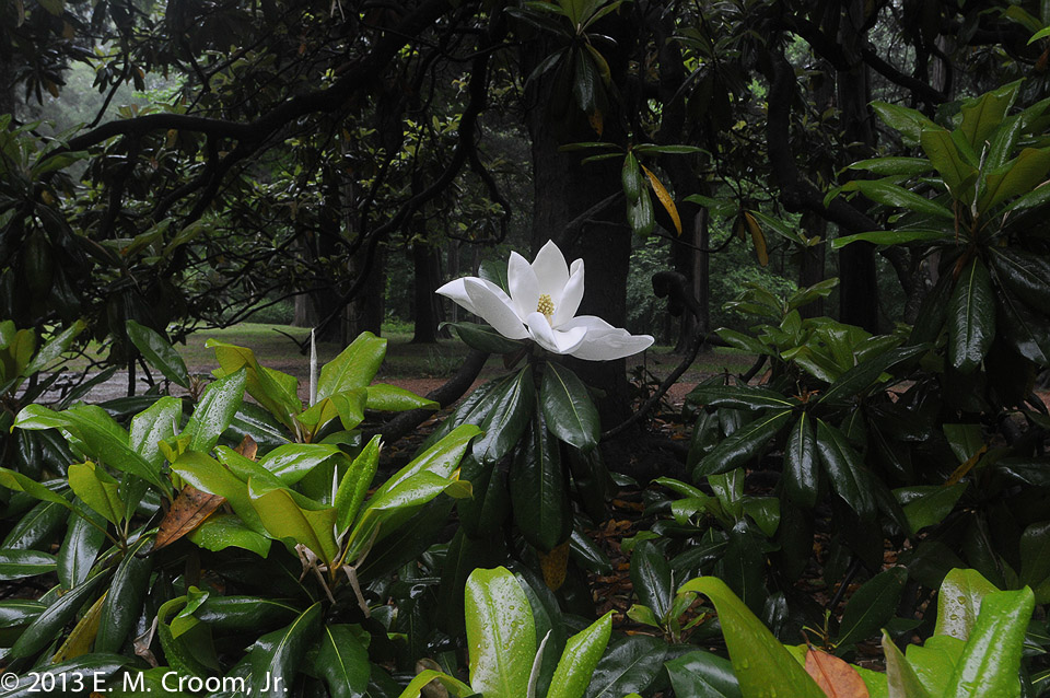 7_magnolia_light_18x12